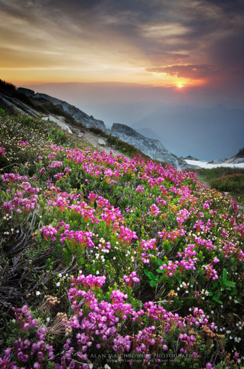 Pink Heather North Cascades Washington