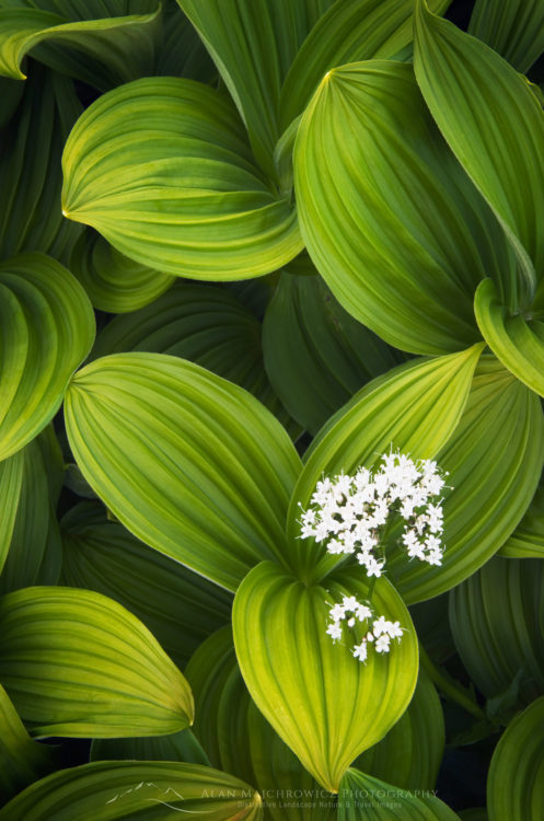 Corn Lily and Valerian