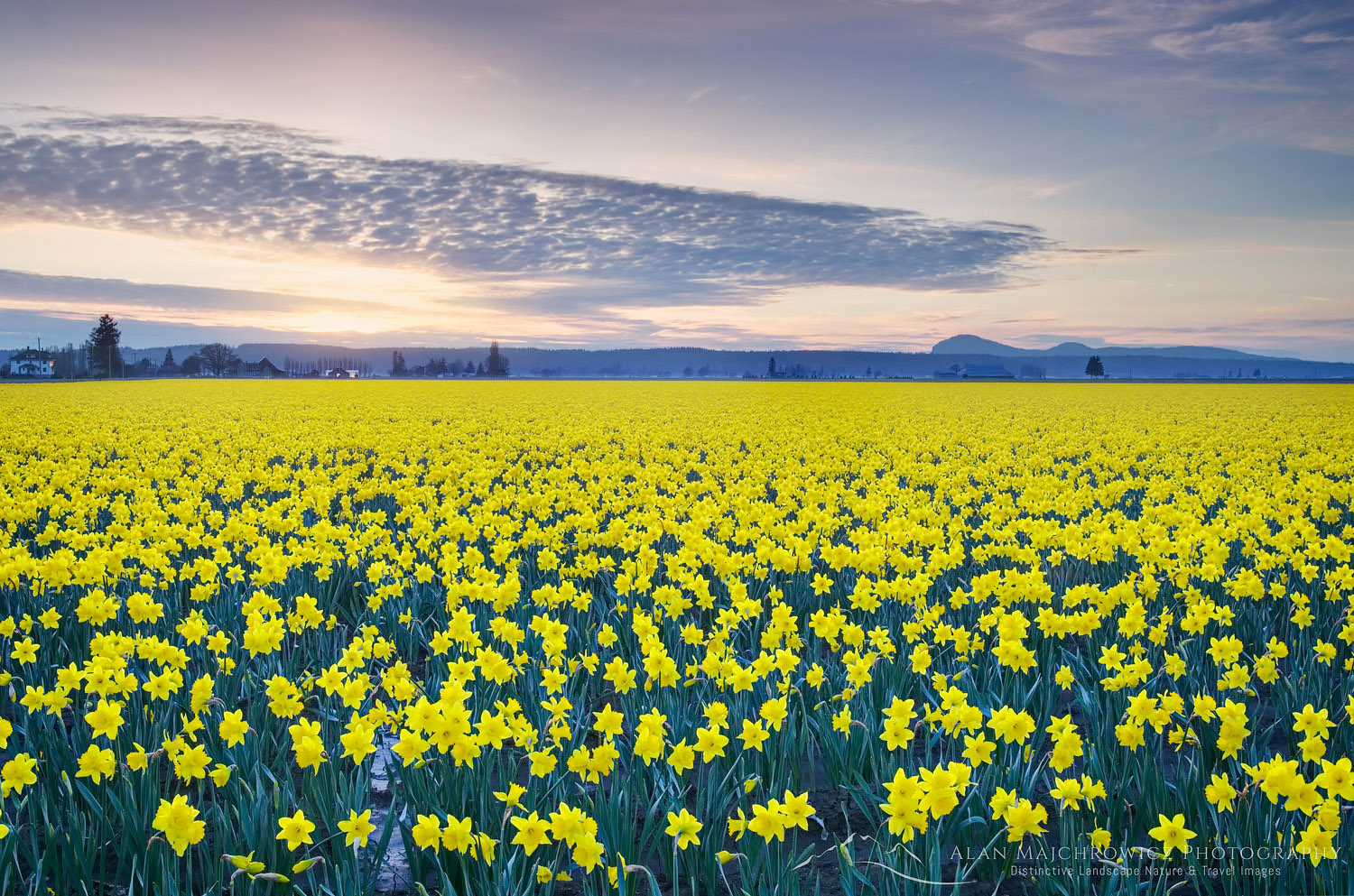 Skagit Valley Daffodils, Skagit Valley Daffodils and Snow Geese