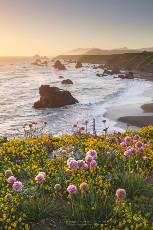 Sunset Sonoma Coast wildflowers, California
