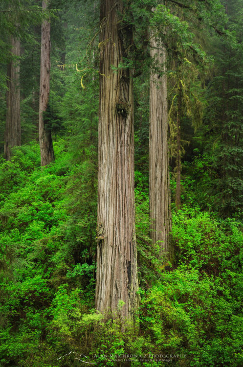 Coast Redwoods (Sequoia sempervirens)