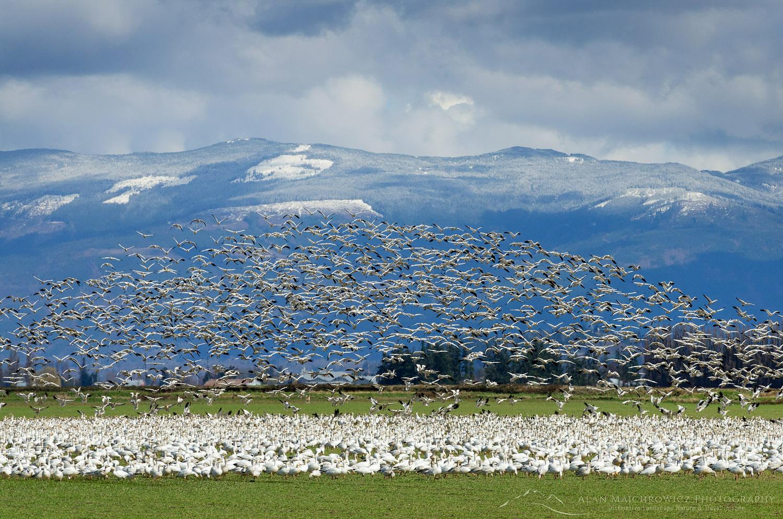Snow Geese Skagit Valley Washington