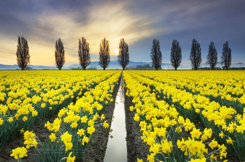 Skagit Valley Daffodil Fields, Washington Photo Highlights 2018