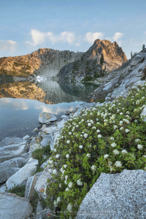Trapper's Tea (Ledum glandulosum) growing amid boulder field on edge of Sawtooth, Lake Sawtooth Mountains Idaho