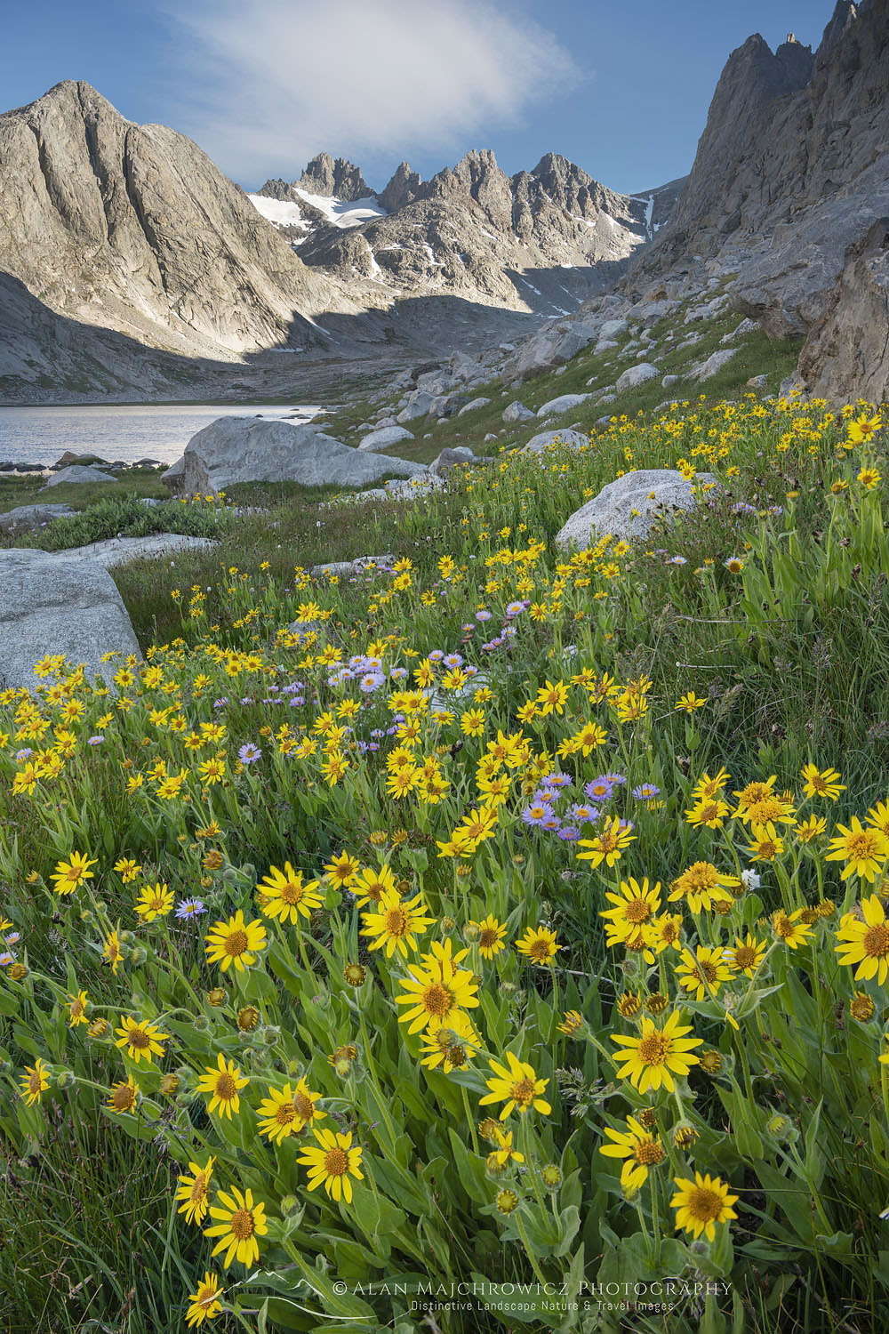 Field of Narrowleaf Arnica (Arnica angustifolia) Titcomb Basin, Bridger Wilderness, Wind River Range Wyoming
