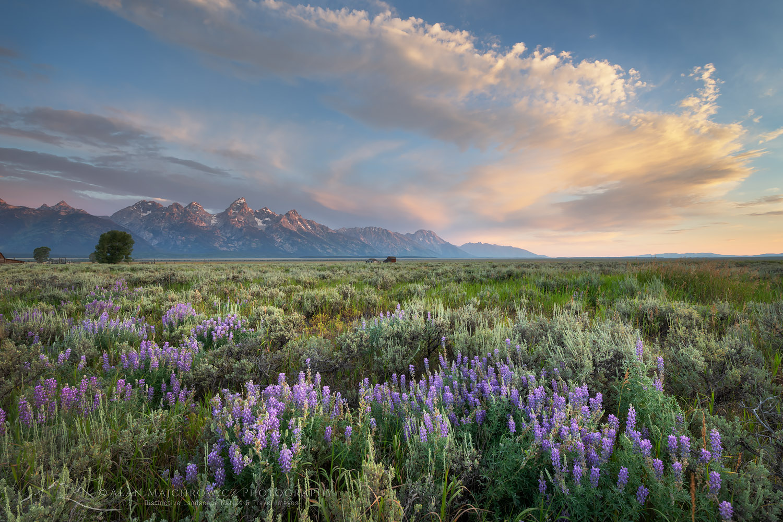 Antelope Flats lupines and sagebrush. Grand Teton National Park New Images: Montana and Wyoming