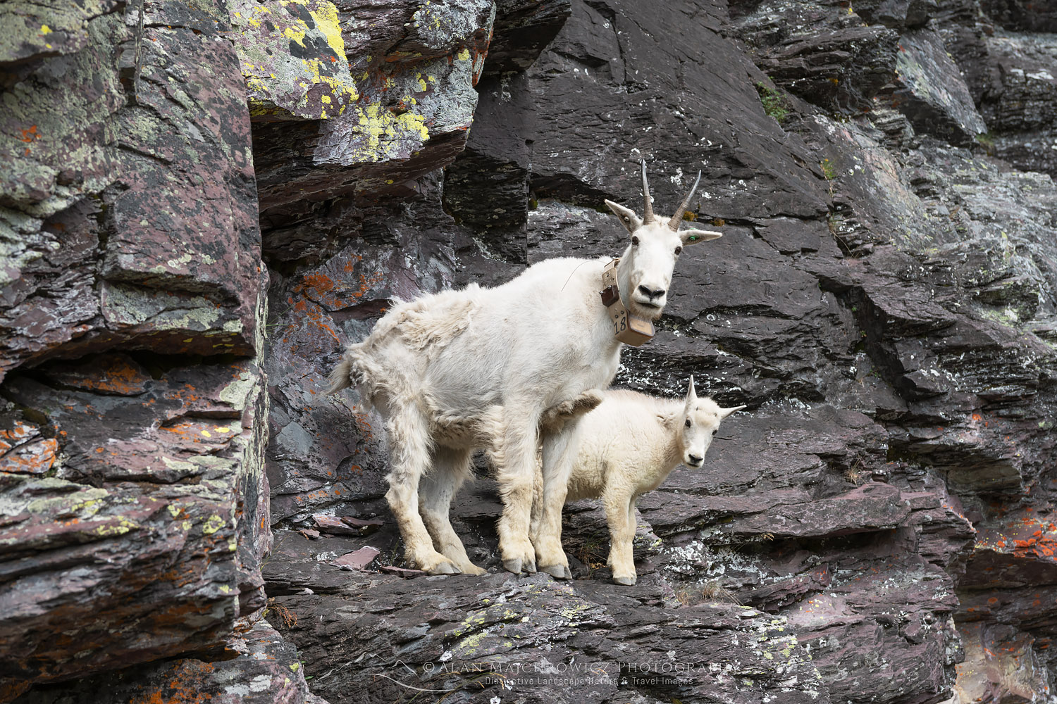 Mountain Goats Glacier National Park