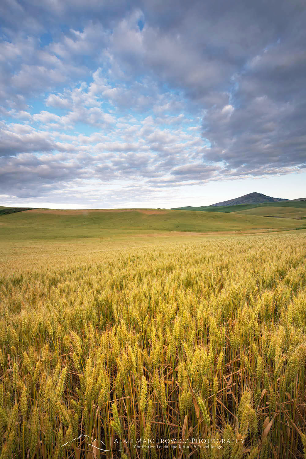 Fields of wheat Palouse Washington