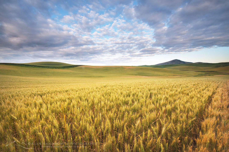 Fields of wheat Palouse Washington