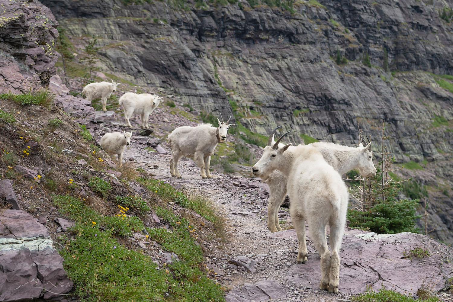 Mountain Goats (Oreamnos americanus) on Comeau Pass Trail, Glacier National Park Montana