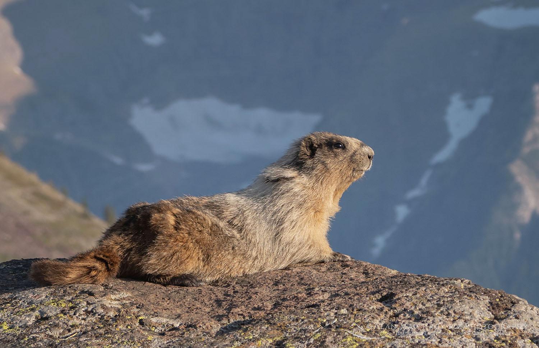 Hoary Marmot (Marmota caligata) Glacier National Park