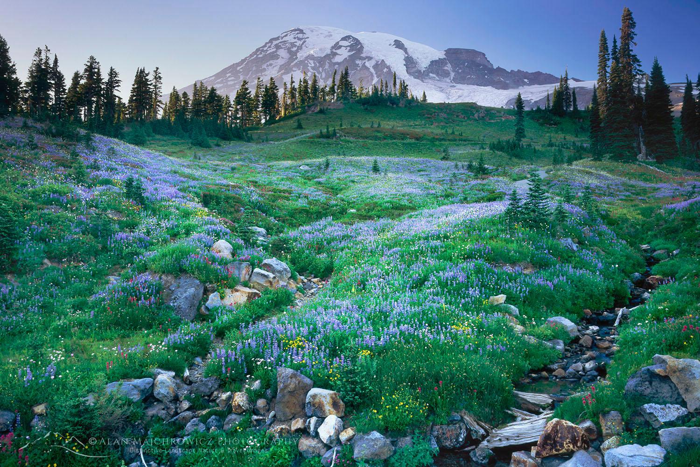 Mount Rainier, Paradise Meadows Wildflowers