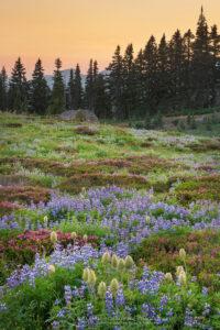 Paradise Meadows Wildflowers Mount Rainier