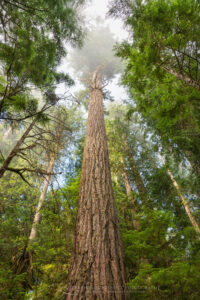 Old Growth Douglas Fir tree Olympic National Park